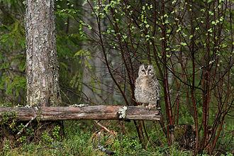 Ural owl - Image: Händkakk 2014