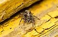 Hüpikämblik - Salticidae (1).jpg