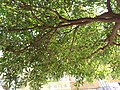 HK CWB 銅鑼灣 Causeway Bay 駱克道 Lockhart Road green tree leaves June 2019 SSG 02.jpg