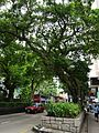 HK TST Nathan Road green Sidewalk Chinese Banyan trees Aug-2015 DSC (21).JPG