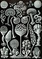 Haeckel Mycetozoa.jpg