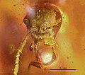 Haidomyrmex cerberus BMNHP20182 01.jpg