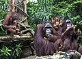 Handsome Orang Utang Family in Singapore Zoo-1 (11944458564).jpg
