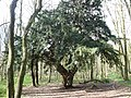 Hardwick Wood - yew tree - geograph.org.uk - 358089.jpg