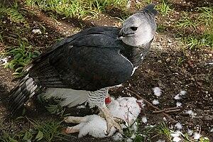 Harpy eagle - Feeding at Zoo Miami, USA