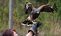 Harriss Hawk on hand (7913336308).jpg