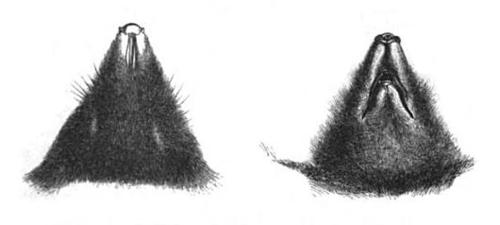 500px head drawings of talpa caeca
