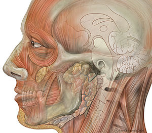 Facial toning - Image: Head face detail lateral