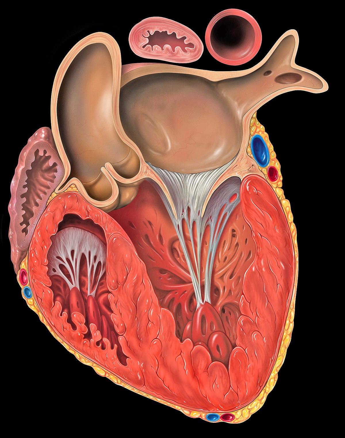 Aurícula (corazón) - Wikipedia, la enciclopedia libre