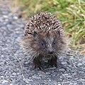 Hedgehog (Erinaceus europaeus), Norwick - geograph.org.uk - 1517441.jpg