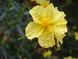 definition of helianthemum