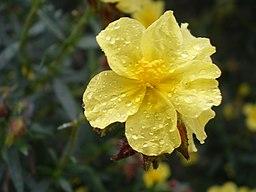 Helianthemum alypoides (flor)