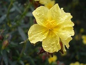 Helianthemum - Helianthemum alypoides
