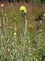 Helichrysum arenarium habitus.jpeg