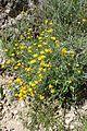 Helichrysum stoechas subsp barrelieri kz3.jpg