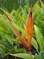Heliconia-psittacorum-Réunion.jpg