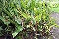 Heliconia psittacorum x Heliconia spathocircinata 5zz.jpg