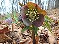 Helleborus purpurascens (33403606595).jpg
