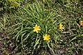 Hemerocallis middendorffii (Hemerocallidaceae) (36162215675).jpg