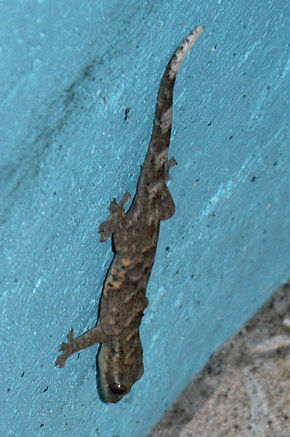 Description de l'image Hemidactylus mabouia in Coulibistrie, Dominica a01.jpg.