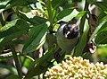 Hemispingus verticalis (Hemispingo tiznado o cabecinegro) (6) - Flickr - Alejandro Bayer.jpg