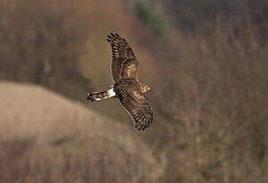 female (!) Hen Harrier first cy