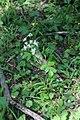 Heracleum chorodanum 47024162.jpg