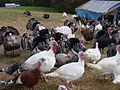 Heritage Turkeys in MD.jpg
