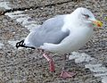 Herring Gull (10842045165).jpg