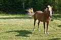 Hevoset kesälaitumella 1.jpg