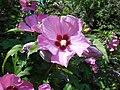 Hibiscus syriacus 2018-07-08 3731.jpg