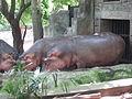 Hippopotamus - നീർക്കുതിര 02.JPG