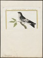 Hirundo albiventer - 1700-1880 - Print - Iconographia Zoologica - Special Collections University of Amsterdam - UBA01 IZ16700163.tif