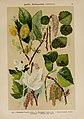 Hoffmann-Dennert botanischer Bilderatlas (Taf. 24) (6424993147).jpg