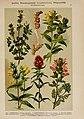 Hoffmann-Dennert botanischer Bilderatlas (Taf. 67) (6425016935).jpg