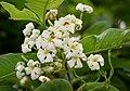 Holarrhena pubescens flowers W IMG 0292.jpg