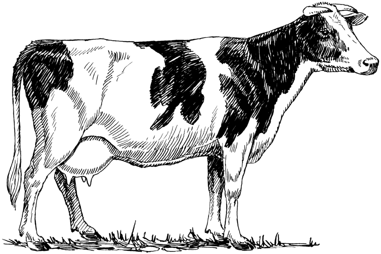 Line Drawing Cow : File holstein cow psf wikimedia commons