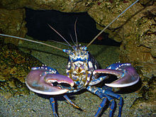 A blue-coloured lobster face-on: the claws are raised and open. The inside edges of the stocky right claw are covered in rounded protrusions, while the left claw is slightly slimmer and has sharp teeth.