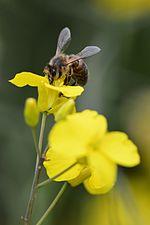Honney bee (31939152492).jpg