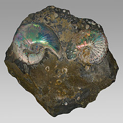 Fossils of the Late Cretaceous ammonoids Hoploscaphites (left) und Discoscaphites (right)