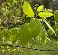 Hornbeam new leaves flowers.jpg