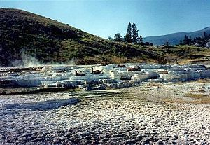 Mammoth Hot Springs - Elk on travertine terraces, Mammoth Hot Springs