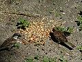 House Sparrows Eating Food.jpg