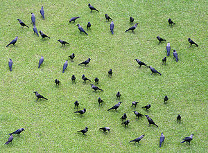 English: House Crow Corvus splendens in Kolkat...