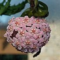 Hoya carnosa.jpeg