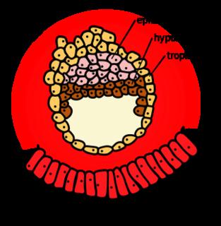 Hypoblast