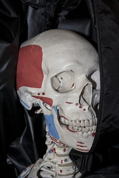 File:Human Skull portrait.jpg