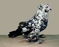 Hungarian giant house pigeon(black splash).jpg