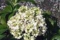 Hydrangea macrophylla Big Daddy 0zz.jpg