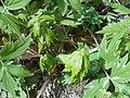 Hydrophyllum virginianum 2017-04-20 8215.jpg